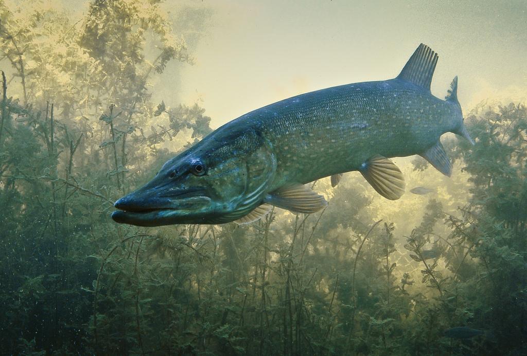 Tutto quello che c da sapere sulla pesca al luccio nel for Grosso pesce di lago
